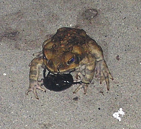 CANE TOAD AND RHINO BEETLE FIGHT