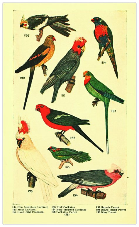 THE GEM 23 NOV 2014 : Speak, parrot, speak, flamboyant popinjay! Speak, though like me you've nothing new to say. A.D. HOPE