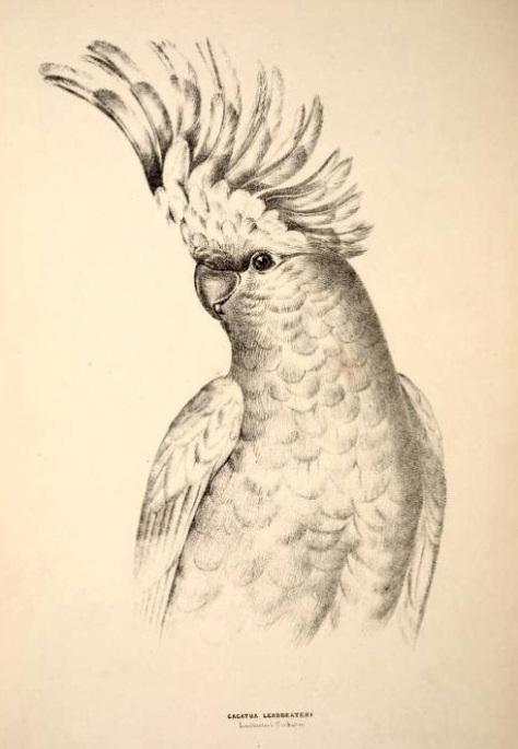 1 1 1  1 1 cockatoo CompanionGoulds00Digg_0256
