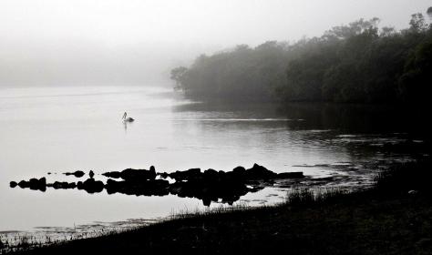 lagoon pelican
