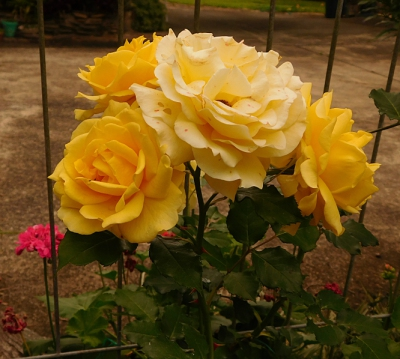 smallest-roses-yellow-3